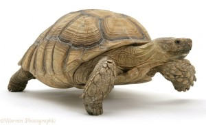 African Giant Tortoise (Testudo sulcata)
